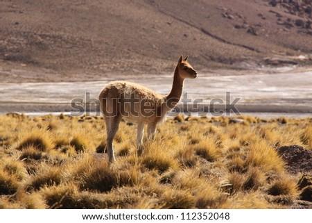 Vicuna in Atacama desert, Chile. - stock photo