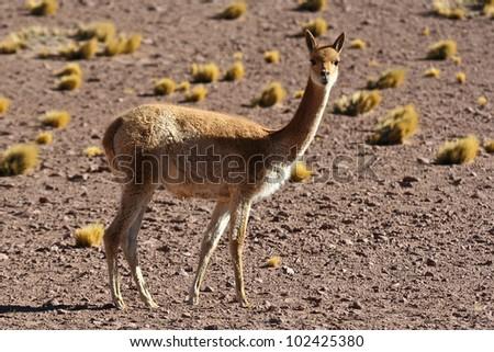 Vicuna (Vicugna vicugna)  Andean animal - stock photo