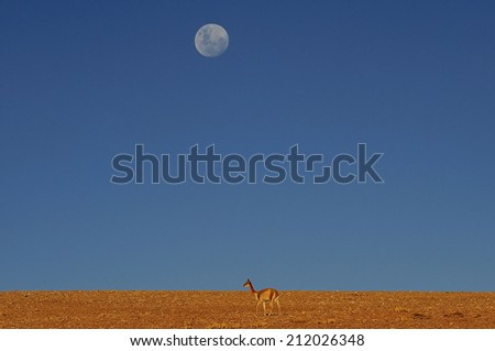 Vicuna with full moon in Altiplano high plateau in Andes mountains, Chile - stock photo