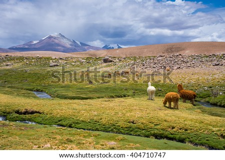 Vicunas and alpacas grazing, Las Vicunas National Reserve (Chile)