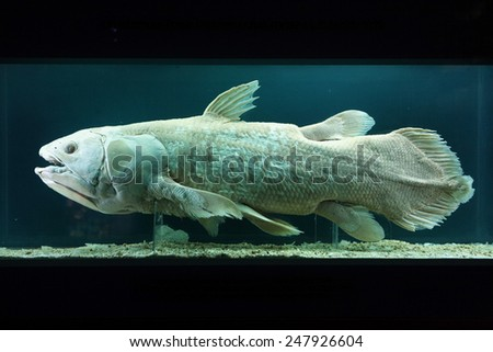 VIENNA, AUSTRIA - NOVEMBER 27, 2014: Coelacanth (Latimeria chalumnae) exhibited in the Natural History Museum (Naturhistorisches Museum) in Vienna, Austria. - stock photo