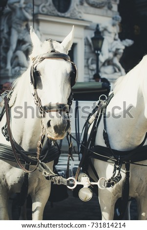 Vienna, Austria, white horses of traditional two-horse carriage