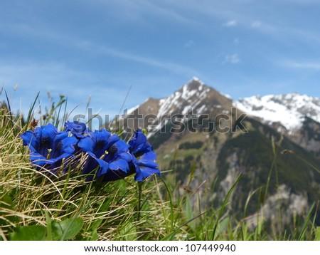 vier Enzian in den Alpen - stock photo
