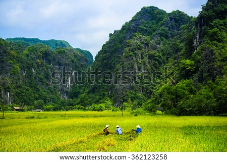 Vietnam farmer harvesting rice on field in Ninh Binh, Vietnam