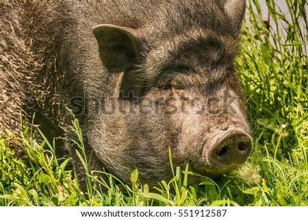 Ugly Pigs Stock Images Royalty Free Images Amp Vectors