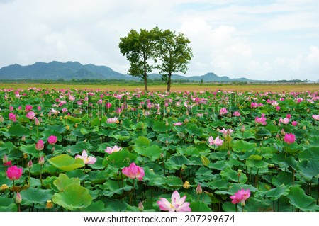 Vietnam travel at Mekong Delta, impression landscape of nature with lotus pond, flower blossom in vibrant pink, green leaf, beautiful petal make summer scene so amazing, large tree on the field - stock photo