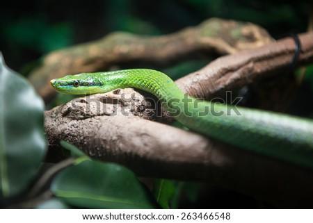 Vietnamese long nosed snake - stock photo