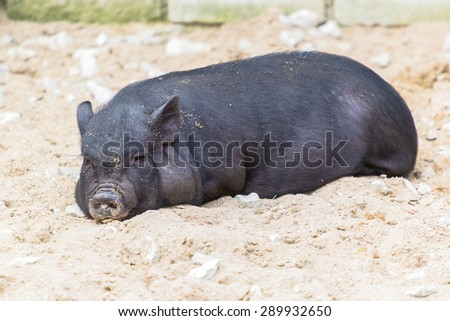 Vietnamese pot-bellied piglet lying in the sand - stock photo