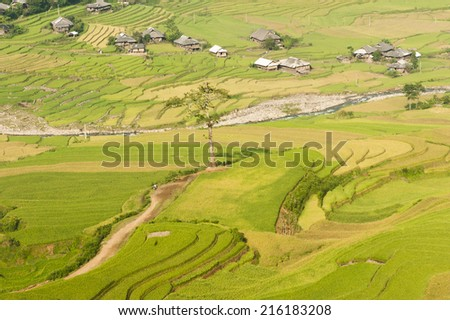 Vietnamese rice terraced paddy field in harvesting season. Terraced paddy fields are used widely in rice, wheat and barley farming in east, south, and southeast Asia