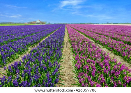 View at blue and purple fields of hyacinths  on Texel