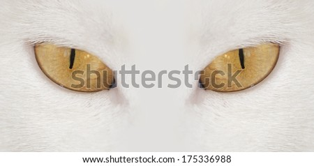 View. Close-up muzzle a white cat . cat eyes - stock photo