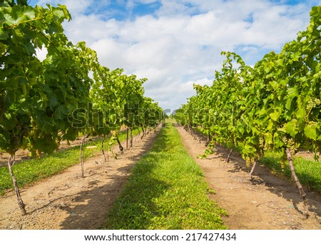 View down a Vineyard Plantation growing green grapes - stock photo