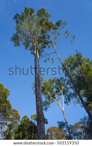 view from below of the tall trees in tropical jungle