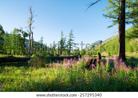 View from Mongolian wilderness area - flowering meadow and larch wood - Sayan mountain - gorhi-terelj national park - Mongolia - stock photo