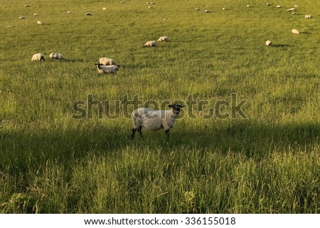 view from the bottom of a sheep clippings in the middle of the flock, Scotland