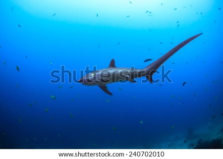 View from the side of a big Thresher shark in Malapascua, Philippines - stock photo