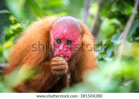 View of a Bald Uakari monkey in trees in the Amazon Rainforest near Iquitos, Peru - stock photo