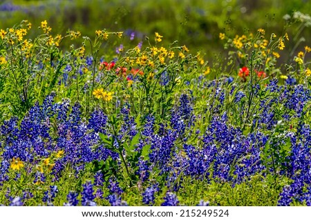 View of a Beautiful Field Blanketed with the Famous Texas Bluebonnet (Lupinus texensis) and Other Assorted Wildflowers. - stock photo