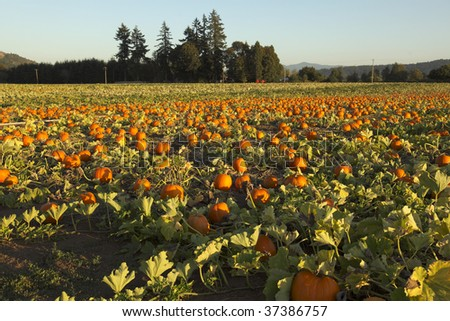 View of a commercial Oregon pumpkin patch at sunset. Shallow depth of field, focus is a foreground.