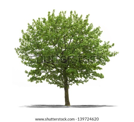 View of a Green tree on a white background