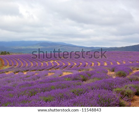 view of a lavender field ready for harvest - stock photo