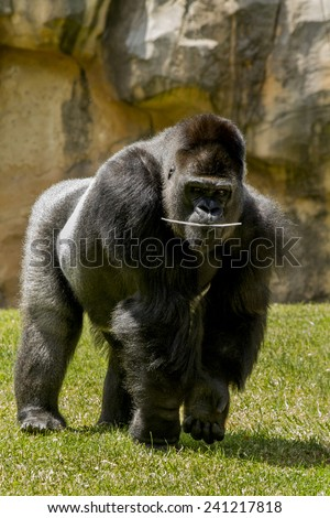 View of a playful western lowland gorilla (Gorilla gorilla gorilla) on a zoo.