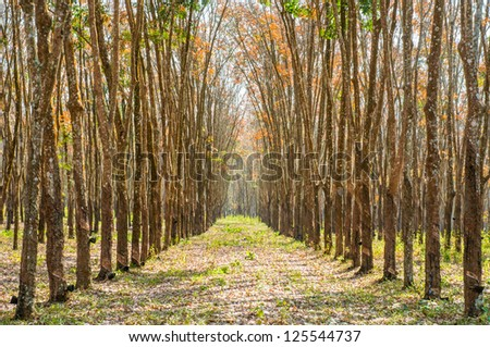 View of a rubber plantation in  Thailand
