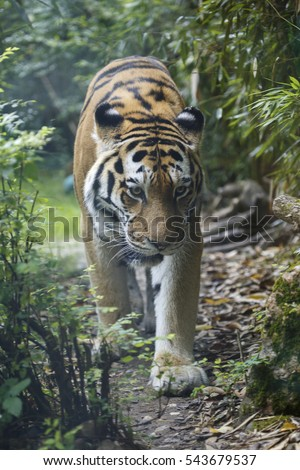 View of a siberian tiger or Amur tiger, Panthera tigris altaica, walking in the forest towards the camera.