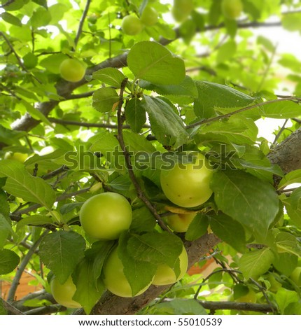 View of a tree with  apricot - stock photo