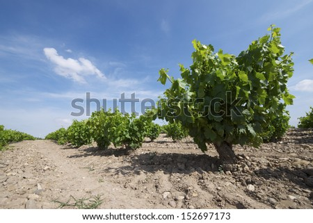 View of a vineyard Fuendejalon, Zaragoza, Aragon, Spain