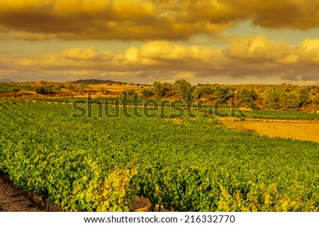 view of a vineyard with ripe grapes in a mediterranean country at sunset - stock photo