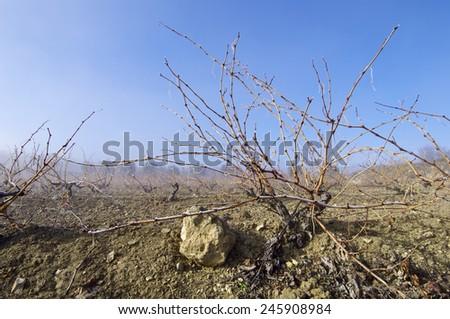 View of a winter vineyard, Zaragoza province, Aragon, Spain - stock photo