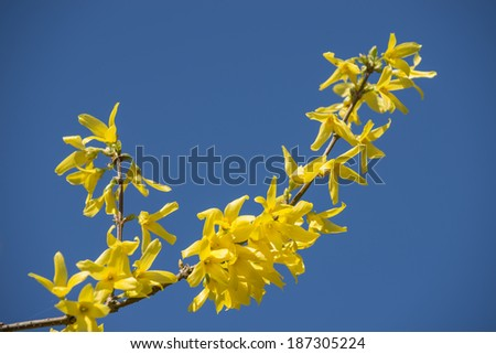 View of a yellow blossoming branch during the spring with a blue sky in the background - stock photo