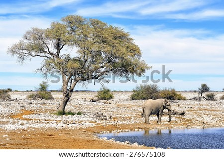 View of African elephant at water pool in Etosha National Park. Etosha is a national park in northwestern Namibia. The park is home to hundreds of species of mammals, birds and reptiles. - stock photo