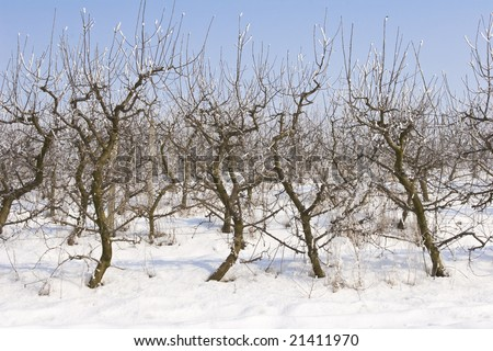 view of an apple orchard covered in snow - stock photo