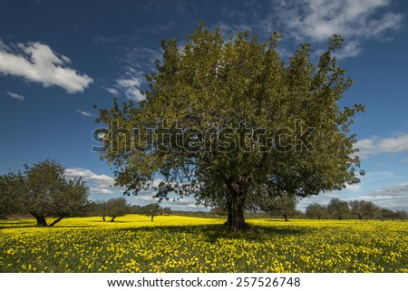 View of an carob tree orchard in a field of yellow flowers in the countryside of Portugal. - stock photo