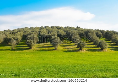 View of an olive grove in the Lazio countryside in Italy - stock photo
