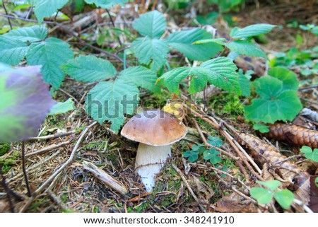 View of an open parasol mushroom, Macrolepiota procera, edible fungus - stock photo
