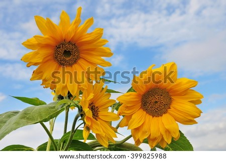 View of Beautiful Sunflowers against a Blue Cloudy Sky  - stock photo