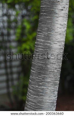 View of Birch Tree trunk, showing textures and patterns in the tree's bark. - stock photo