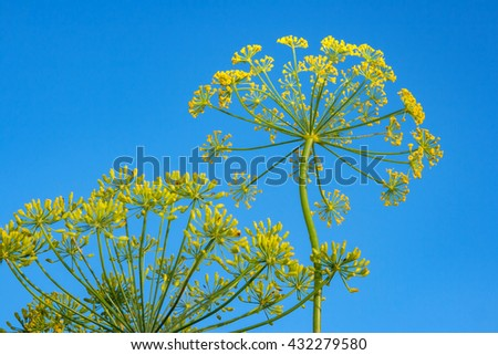 View of blooming dill herbs in garden - stock photo