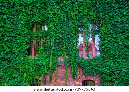 Creeper plant stock images royalty free images vectors view of brick house facade with wall and windows covered by overgrown creeper plant voltagebd Image collections