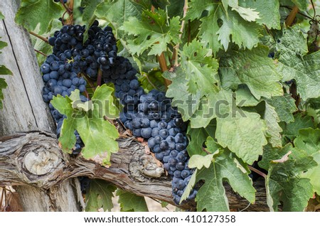 View of bunches of ripe grapes still on the vine - stock photo