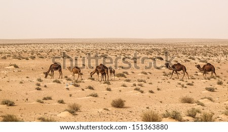 view of camels in Sahara desert in Tunisia, Africa - stock photo