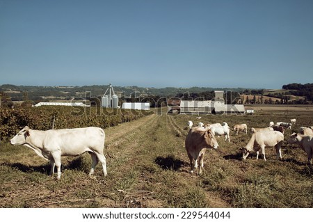 View of cattle grazing on a farm in a rural setting - stock photo
