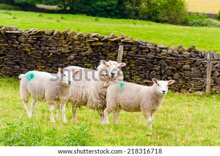 View of English grazing sheep in countryside - stock photo