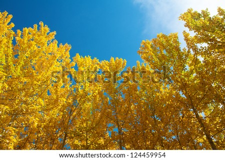 View of Fall Aspen Trees , Leh District in the state of Jammu and Kashmir, India. - stock photo
