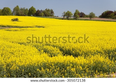 View of flowering field of rapeseed - brassica napus - plant for green energy and oil industry
