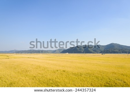 view of full ripen golden rice paddy in autumn, located in Andong-si, Korea - stock photo