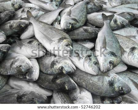 view of giltheads (Sparus aurata) stock - stock photo